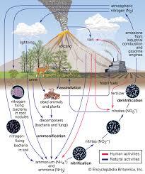 Nitrogen Cycle Definition Steps Britannica