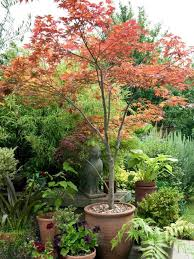 best trees for pots on patios 33 new potted trees for patio