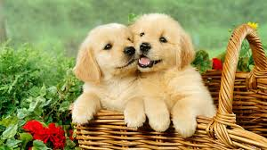 really cute puppies golden retriever playing