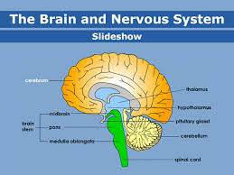 Body Mind Intellect Chart Brain And Nervous System For Teens Nemours Kidshealth