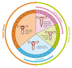 Typical Menstrual Cycle Chart Your Mentrual Cycle Bonita Bennett