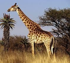 picture of a giraffe. Beautiful Picture Giraffe Inside Picture Of A