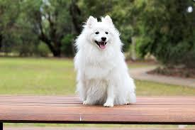 cute baby dog. Brilliant Cute Dog Puppy Spitz Love Cute Baby White Cream And Cute Baby Dog