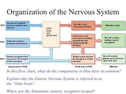 Nervous System Flow Chart Tissues And The Spinal Cord Ppt Video Online Download