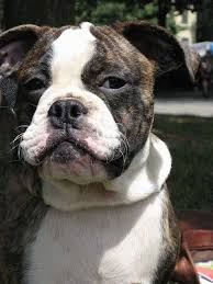 close up upper half of a brown brindle with white miniature australian bulldog puppy sitting outside