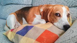 Canine Lymphoma Symptoms Lymphoma In Dogs Types Causes Symptoms And Treatments