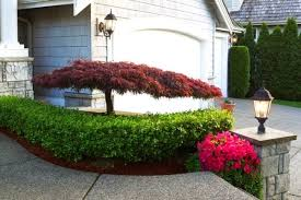 how to keep japanese maple trees small