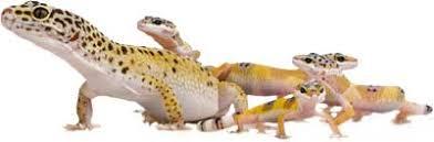 Leopard Gecko Age Chart Leopard Geckos Information Facts More