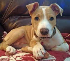 terrier pitbull mix puppies. Beautiful Terrier Zelda The Mixed Breed  Puppy Breed American Pit Bull Terrier  Jack  Russell Intended Pitbull Mix Puppies U