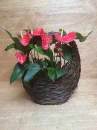 two beautiful exotic anthurium plants in a circle handle wicker basket make