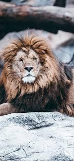 Lion Rocks Zoo 1242x2688 Iphone Xs Max Wallpaper