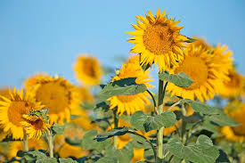 a new uc publication sunflower hybrid seed ion in california is now under review and is expected to be available to producers in fall 2018
