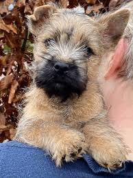 Kennel Mr Winterbottom's Cairn Terrier • DK - Startside | Facebook
