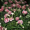 Гвоздики садовые многолетние уход фото