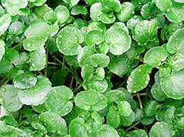 Image result for watercress