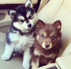 brown and black husky puppies. Perfect Puppies National Puppy Day To Celebrate The Joy Of Puppies With Brown And Black Husky Puppies