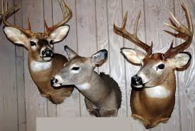 mac s taxidermy mooseheads