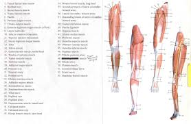 Leg Muscle Innervation Chart Human Leg And Foot Skeleton Image Sample Exam Questions