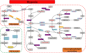 Nicholson Metabolic Pathways Chart Frontiers Multiple Omics Techniques Reveal The Role Of
