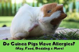 do guinea pigs have allergies hay