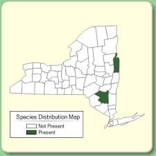Centaurea phrygia - Species Page - NYFA: New York Flora Atlas