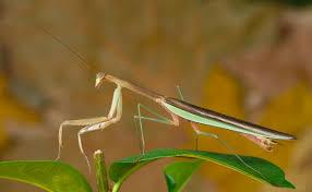 Chinese Mantis Wikipedia