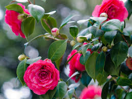 Image result for camellia