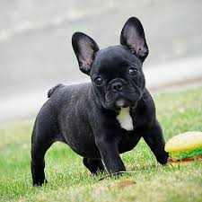 black french bulldog. Delighful French Source  With Black French Bulldog R