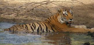 Image result for Tiger In Ranthambore