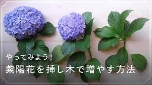 紫陽花 挿し木 の 方法