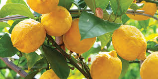 how to grow and care for a lemon tree