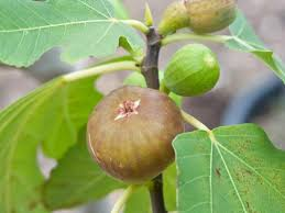 Learn How To Grow A Fig Tree  HGTVWhat Fruit Trees Grow In Michigan