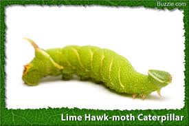 A Visual Guide To Caterpillar Identification