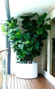 large indoor plants for tall indoor plants large indoor planters 2 best tall indoor plants large indoor plants