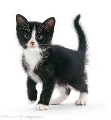 black and white kittens. Contemporary Kittens Blackandwhite Kitten White Background To Black And White Kittens T