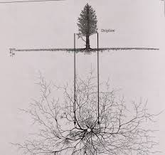 Tree Root Depth Chart Pinus Cembra Root System 090815 008 In 2019 Roots Drawing
