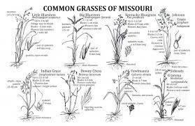 Common Grasses Of Missouri Missouris Natural Heritage
