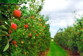47 Best Garden  Citrus Plant In SepOct Images On Pinterest Underplanting Fruit Trees