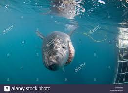 shark alley stock photos shark alley stock images alamy a great white shark passing a shark cage diver in shark alley gansbaai south