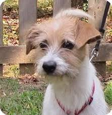 wire haired terrier mix. Unique Wire Pet Adoption Has Dogs Puppies Cats And Kittens For Adoption Find This  Pin More On Wire Haired Fox Terrier Mixes  Inside Haired Terrier Mix R