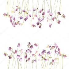 Pea Design Pretty Violet Watercolor Sweet Pea Flowers Stock Photo