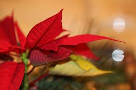 Der Weihnachtsstern Foto Bild Weihnachten Rot Natur