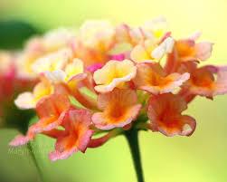 Lantana Flower Photograph Yellow Orange Pink Lime Green Mary