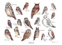 Owl Species Chart Google Search Elf Owl Bird Poster