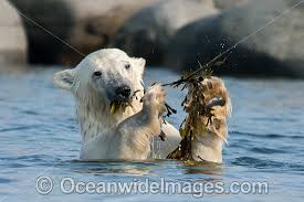 polar bear photos pictures images polar bear eating kelp photo