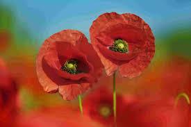 flanders field poppy