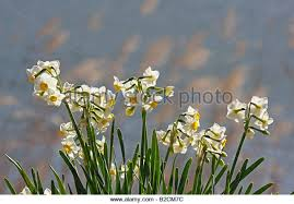 wild yellow narcissus daffodils narcissus stock photos wild daffodils by a lake chiba stock image