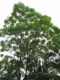 uses of neem plant biodiversity of a wiki resource for uses edit tree