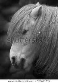 white horse face side.  Face Side Face Portrait Of Small Gray Horse Cute And Cuddly Pony With Eyes  Covered White Inside White Horse Face Side T