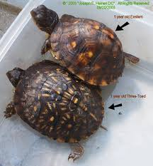 1 Year Old Eastern And Three Toed Box Turtles Turtle
